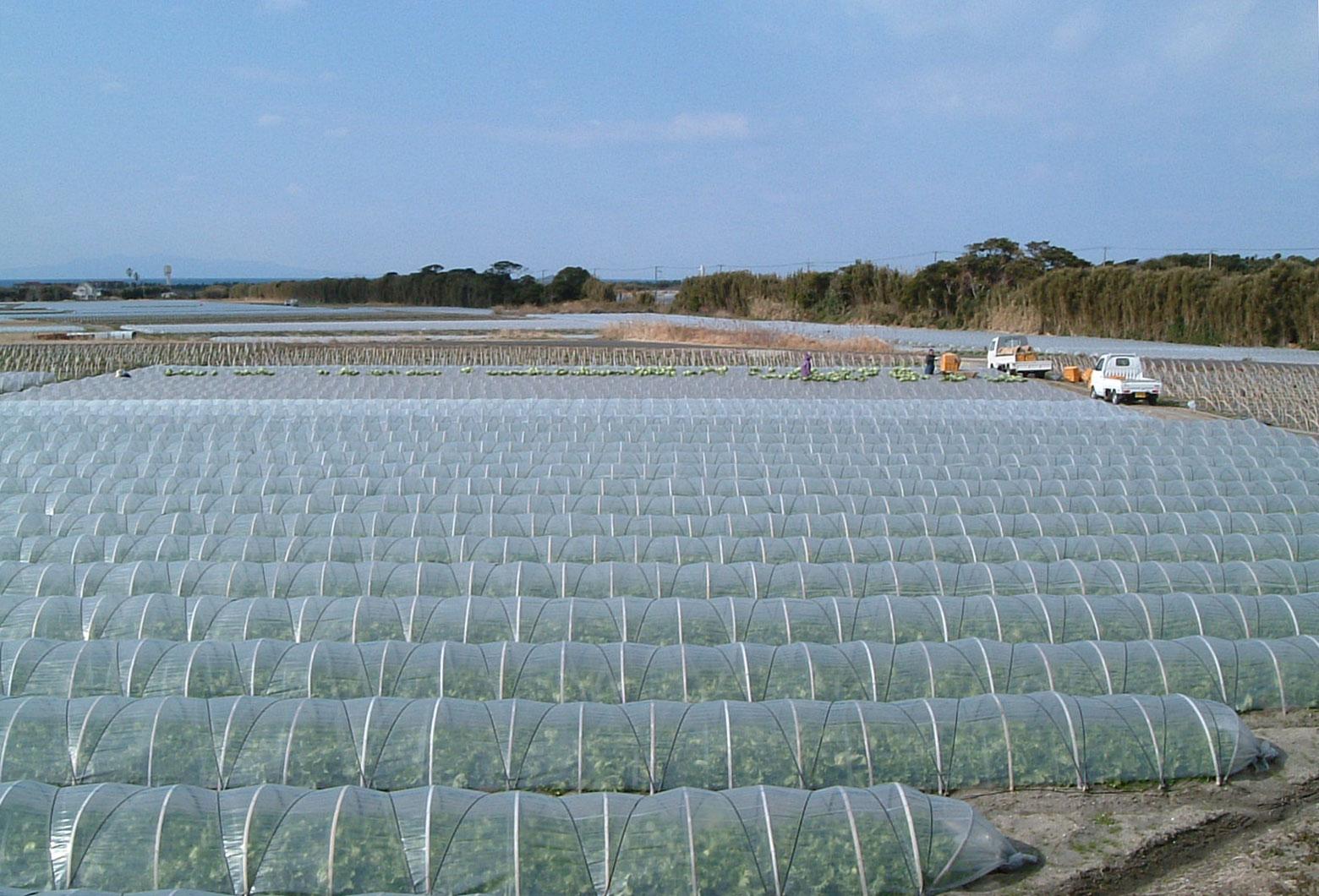 神戸のレタス畑