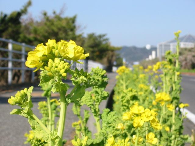 フラワーライン 菜の花