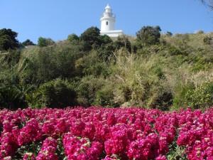 ストックの咲き乱れる現在の洲埼灯台