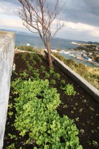 洲埼灯台に植えられた菜の花 マーガレット