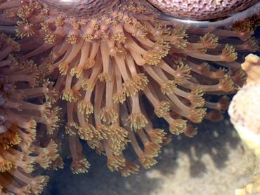 海を豊かにするサンゴと共生藻