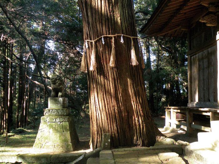 御神木の「大杉」
